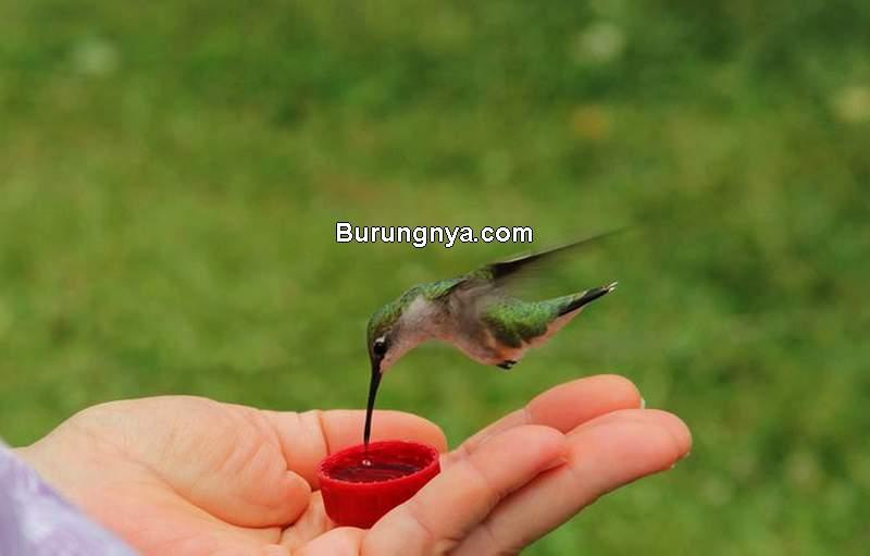 Makanan Burung Kolibri (pennlive.com)