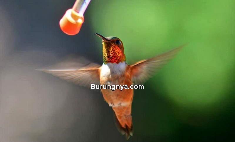 Makanan Burung Konin Kolibri Ninja (tahlequahdailypress.com)
