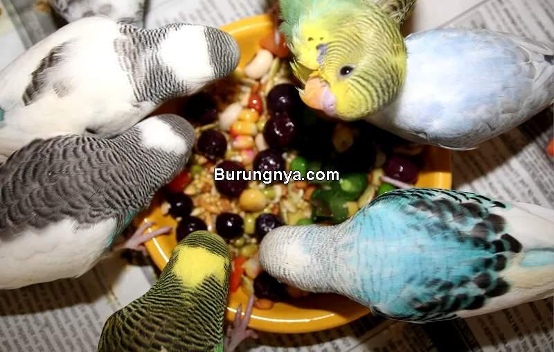 Makanan Burung Parkit Terbaik (puppiesareprozac.com)
