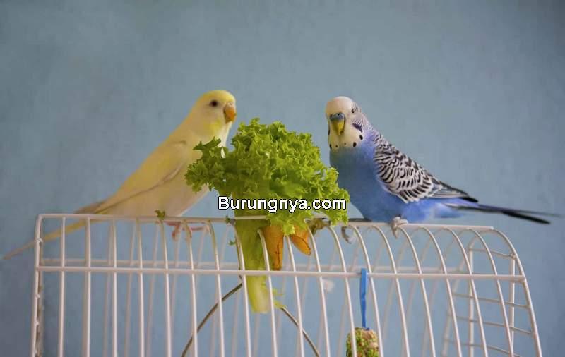 Makanan Burung Parkit (emborapets.com)