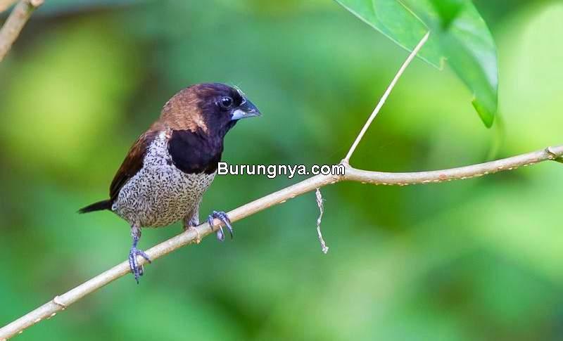 Makanan Burung Pipit Terbaik (alihamdan.id)