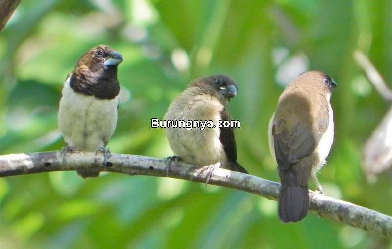 Makanan Burung Pipit (pelataransastrakaliwungu.com)
