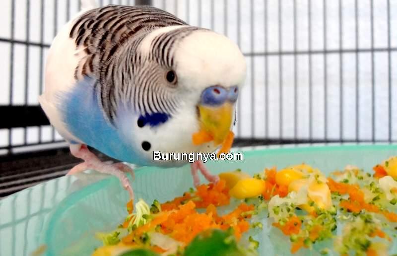 Makanan untuk Burung Parkit (cooperscorner.info)