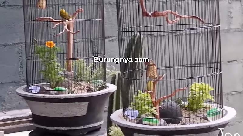 Sangkar Pleci Unik dalam Pot Aviarium (youtube.com)