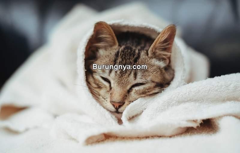 Cara Menenangkan Kucing Birahi (best-wallpaper.net)