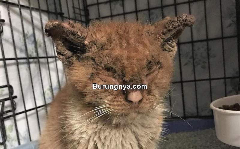 Cara Mengobati Kucing Scabies (pinterest.com)