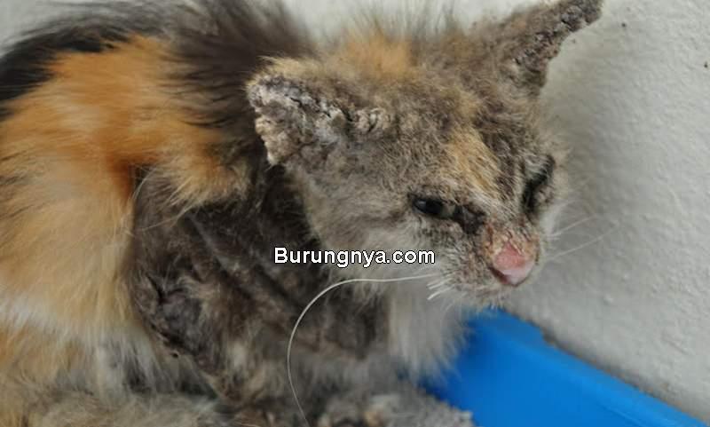 Cara Mengobati Penyakit Kucing Scabies (kittentoob.com)
