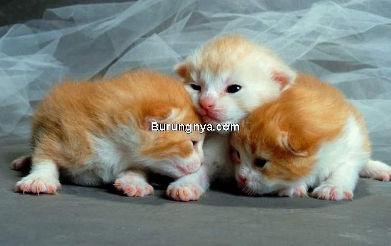 Cara Merawat Anak Kucing Umur 6 Minggu (Burungnya.com)