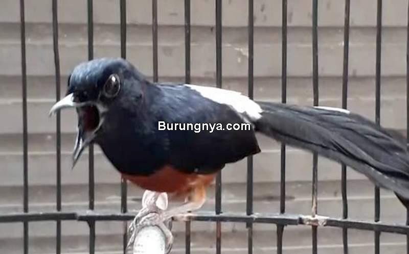 Cara Merawat Murai Batu Gacor (kicauworld.blogspot.com)