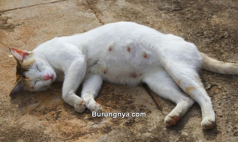 Ciri Kucing Hamil Dilihat Fisik dan Perilaku (clubpets.com)