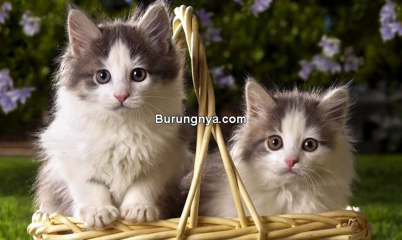 Harga Anak Kucing Persia (1freewallpapers.com)