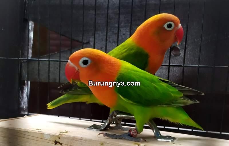 Harga Burung Lovebird Terbaru 2021 (tokopedia.com)