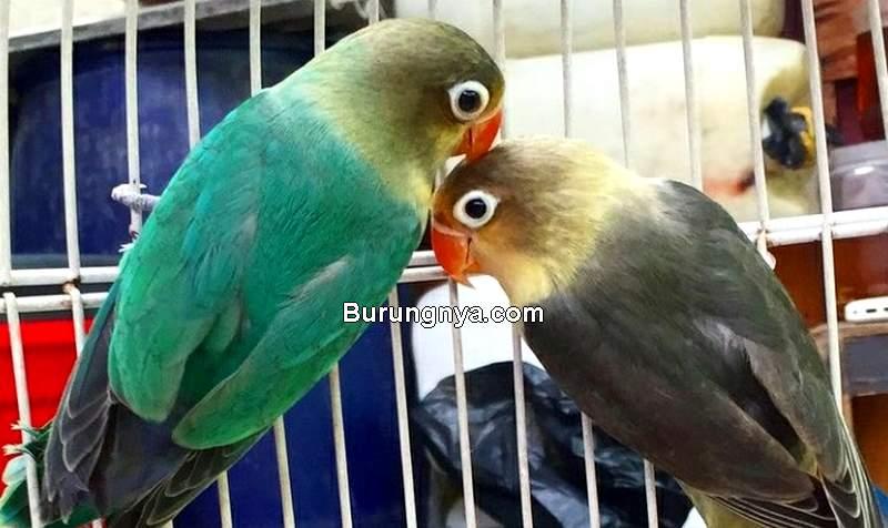 Harga Burung Lovebird Terbaru (tokopedia.com)