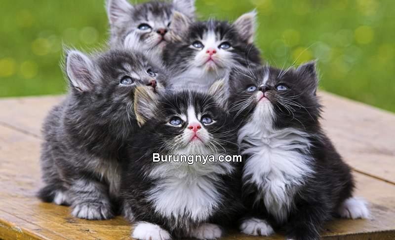 Harga Kucing Persia (persiancats16.blogspot.com)