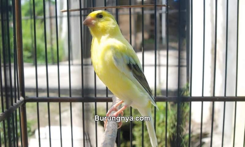 Jenis Burung Banyak Dipelihara di Indonesia (abahtani.com)
