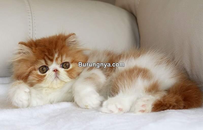 Jenis Kucing Persia (pinterest.com)
