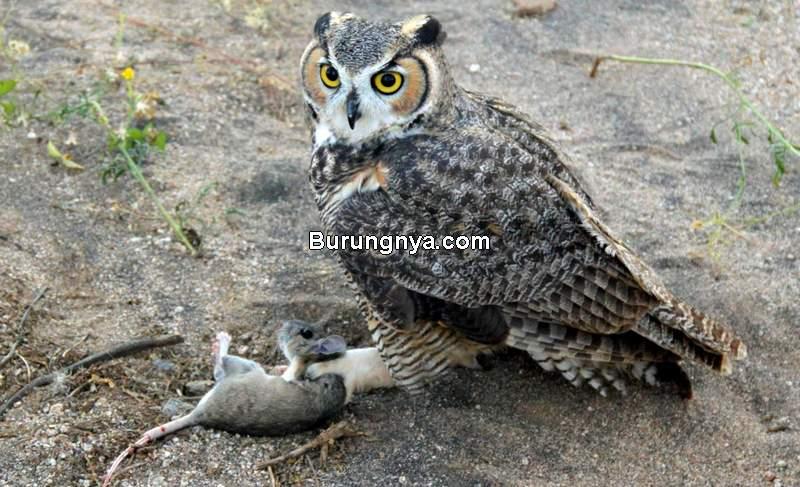 Makanan Burung Hantu Liar (saddlebagnote.com)