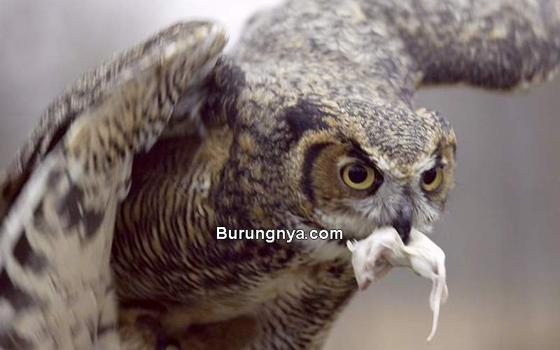 Makanan Burung Hantu di Alam Liar (dailyherald.com)