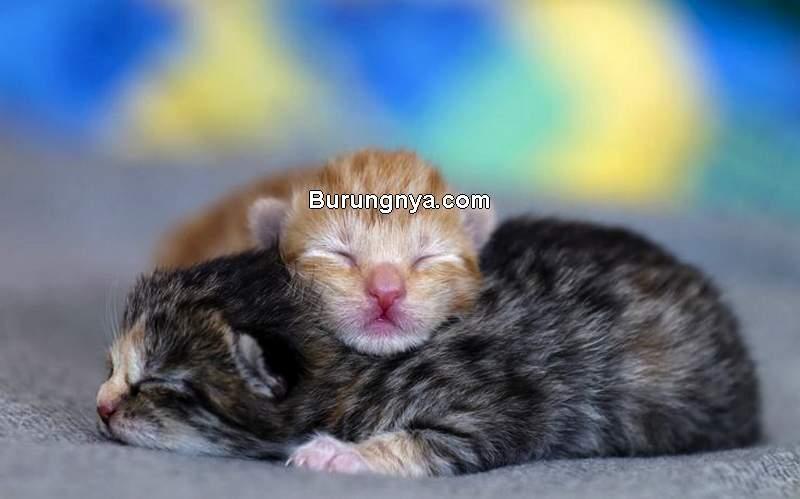 Tips Merawat Anak Kucing Umur 1-6 Minggu (thesprucepets.com)