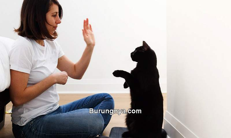 Cara Melatih Kucing Rumahan Jadi Penurut (yourcat.co.uk)