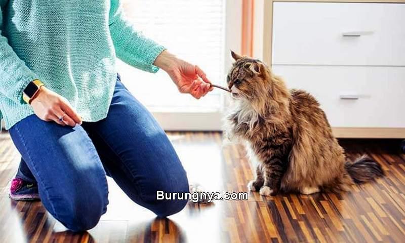 Cara Melatih Kucing di Rumah Agar Jadi Penurut (petsnap.com)