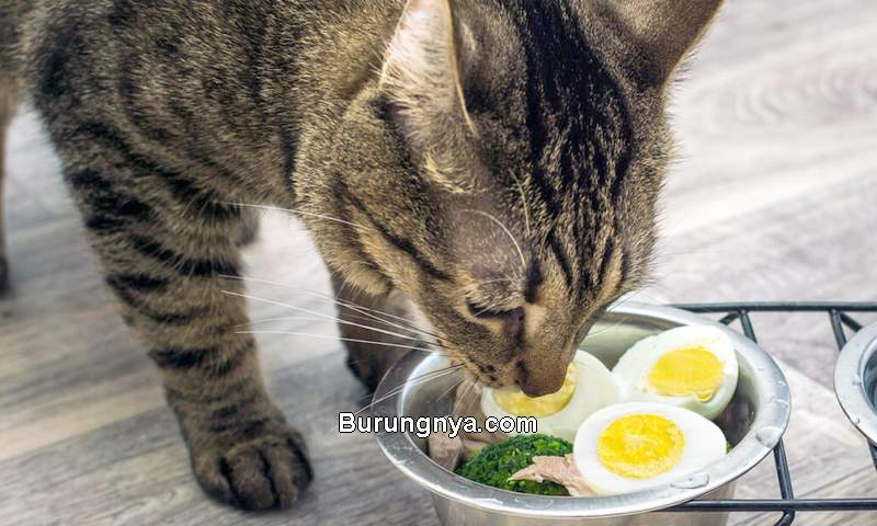 Cara Membuat Makanan Kucing dari Kuning Telur (pumpkin.care)