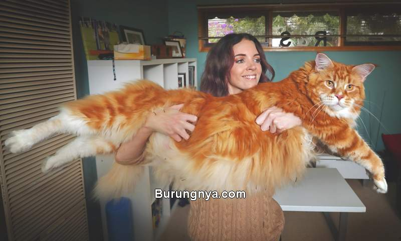 Fakta Kucing Maine Coon Kucing Raksasa (haspikdokum.com)