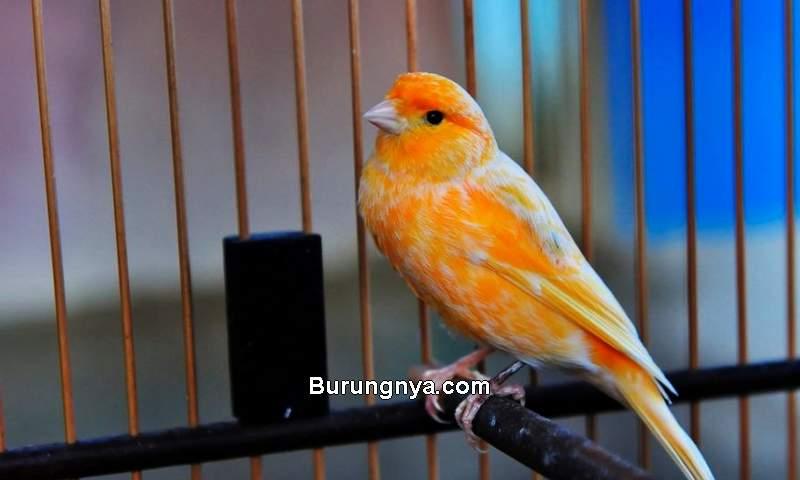 Harga Burung Kenari 2021 (rahasiabelajar.com)