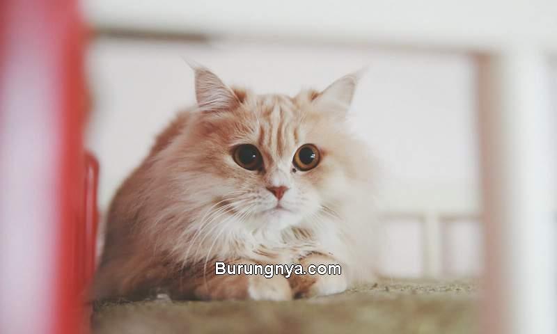 Harga Kucing Anggora 2021 (lovetoknow.com)