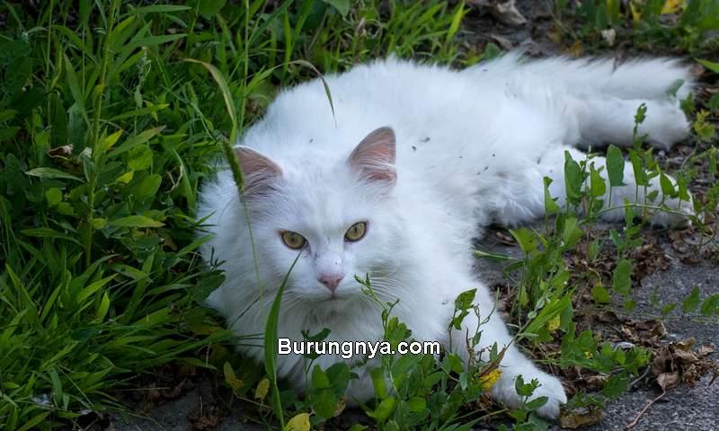 Harga Kucing Anggora Terbaru 2021 dan Termahal (diaryofdennies.com)