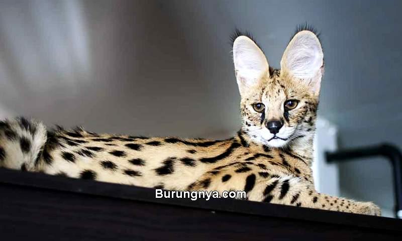 Jenis Kucing Termahal di Dunia (thehappycatsite.com)
