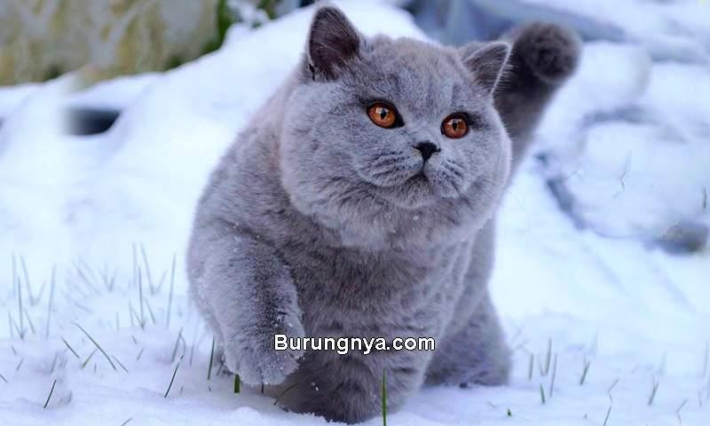 Kucing British Shorthair (youtube.com)