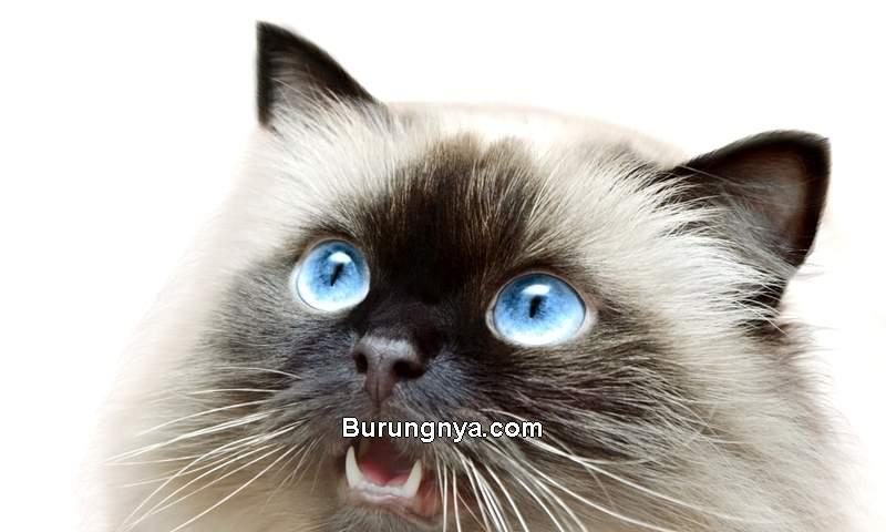 Kucing Himalaya Fakta Unik dan Cara Merawat (petsoid.com)