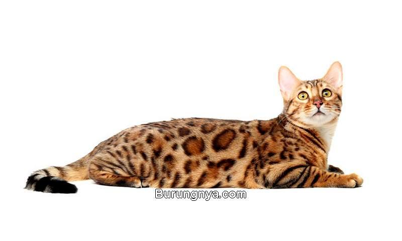 Kucing Paling Mahal di Dunia (omlet.us)