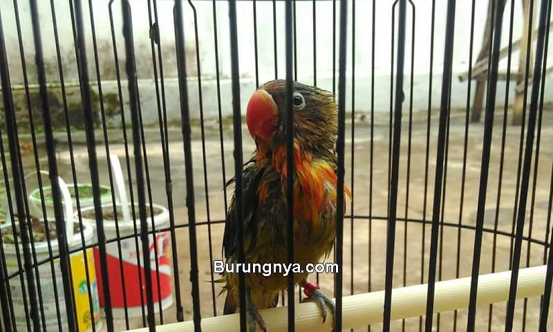 Lovebird Mandi Celup Biar Rajin Bunyi dan Jinak (wordpress.com)