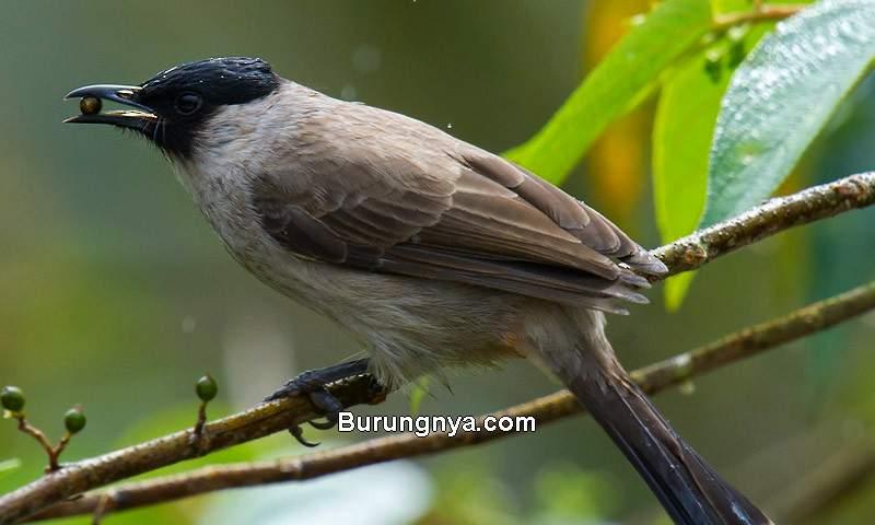 Makanan Burung Kutilang dan Cara Merawat (ebird