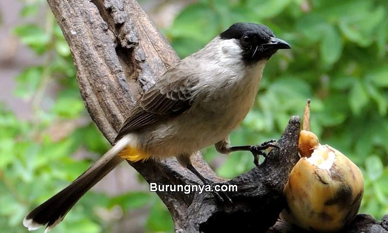 Makanan Burung Kutilang (ebird