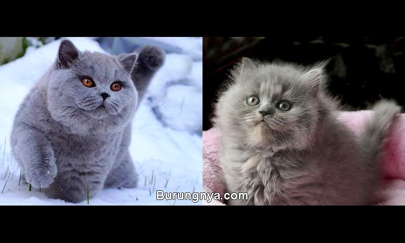 Perbedaan Kucing British Shorthair dan Longhair (youtube.com)