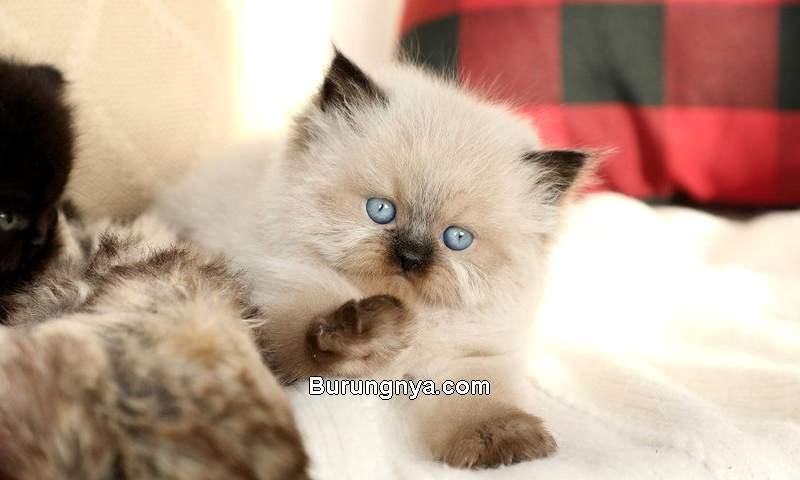 Anak Kucing Himalaya (pinterest.com)