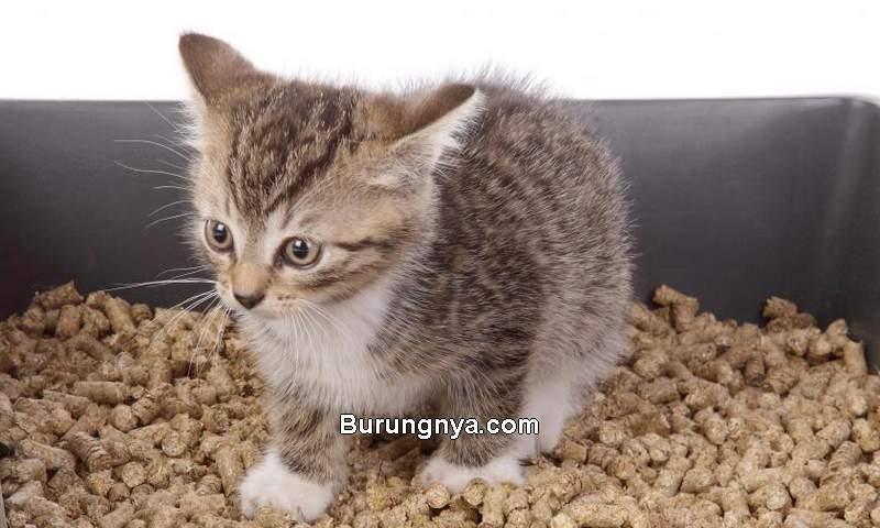 Anak Kucing Mencret atau Diare (typingsolution.com)