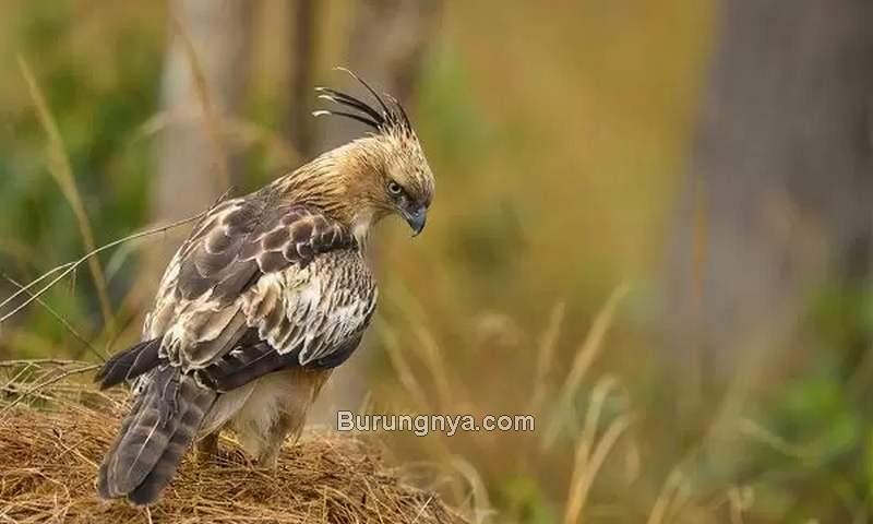 Burung Elang Brontok (mediastorehouse.com)