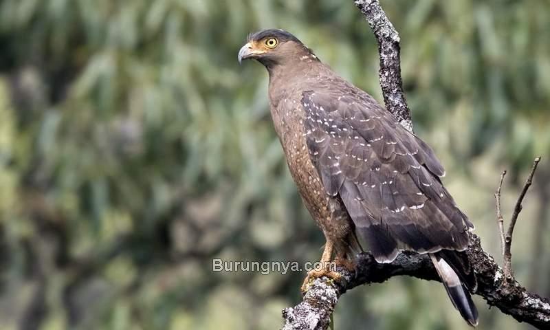 Burung Elang Ular Bido (ayobogor.com)
