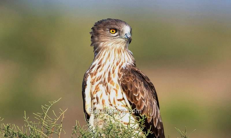 Burung Elang ular bido (pixels.com)