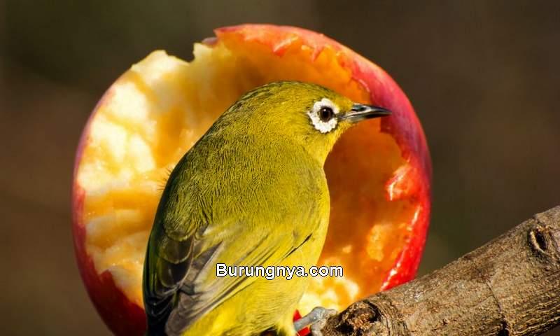 Burung Kecil Suara Merdu dan Mudah Gacor (cageandavriarybirds.co.uk)