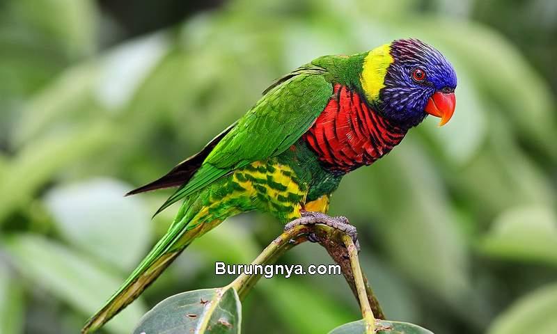 Burung Nuri Pelangi (wikipedia.org)