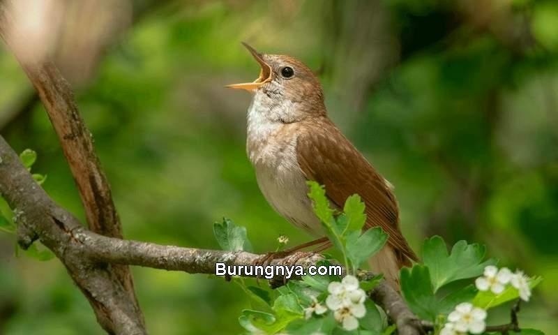 Burung yang Suaranya Merdu (critterfacts.com)