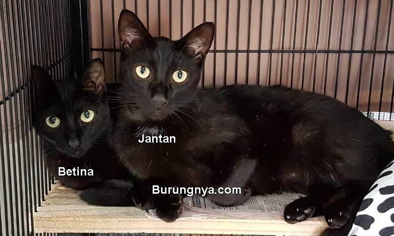 Cara Membedakan Kucing Jantan dan Betina (portnews.com)