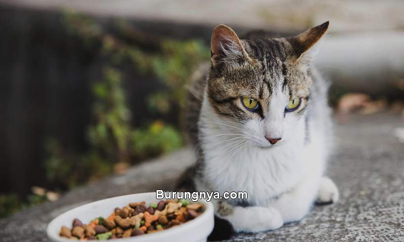 Cara Mengatasi Kucing Pilih-pilih makanan (vivapets.com)