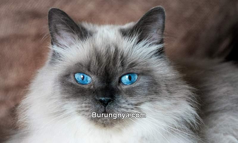 Ciri Kucing Himalaya (troubleandrix.com)