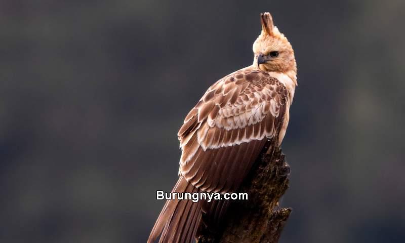 Elang Jawa (ebird.org)